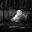 Hedwige ?